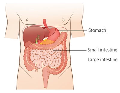 Schematic picture of the digestive system