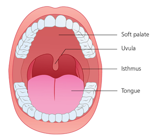 Schematic picture of the mouth