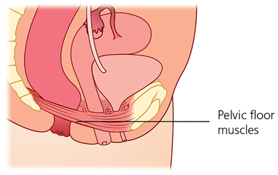 A closer look at the female pelvic floor muscles