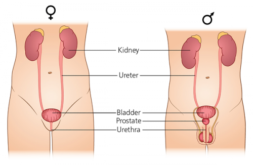 Schematic picture of the male and female urinary system